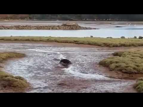 EL CURIOSO VIDEO DEL JABALÍ PASEANDO POR LA RÍA DE SUANCES (CANTABRIA)