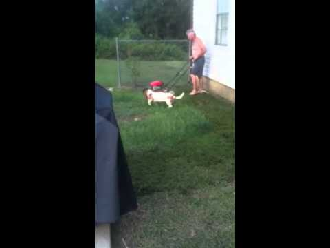 Dog Barks At Lawnmower