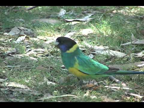 Australian Ringneck parrots – An Aussie success story