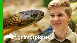 Video Robert Irwin Helps Wes Wrangle A Deadly King Cobra | Crikey! It's The Irwins MP3, 3GP, MP4, WEBM, AVI, FLV Mei 2019