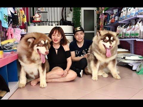 NTN Vlog tố Mật Pet lừa bán Alaska Giant - đến tận shop bắt đền ==))) (видео)