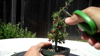 Watch Part 2 at http://youtu.be/bYgxj-NjBrAPart 1:OK, I feel like I cheated a little bit, here I found a great candidate for bonsai, and with just a little bit of pruning, this Contoeaster bonsai is looking pretty good. Watch Part 1 for the prunning and Part 2 for the Potting.