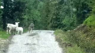 Sheeps Scare The Wolf - Lmao!