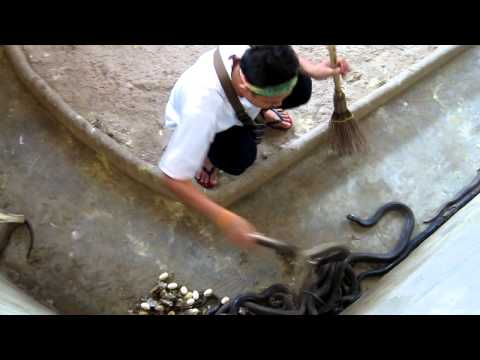 cobra - This guy was just cleaning out the cobra pit. He yanked them out of their napping spots and tossed them aside so he could sweep up their poop, dried skin and...