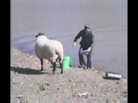 Divertido! Oveja ataca a pescador