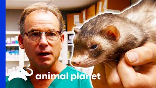 Vet Removes A Tumor From A Ferret | Dr. Jeff: Rocky Mountain Vet by Animal Planet