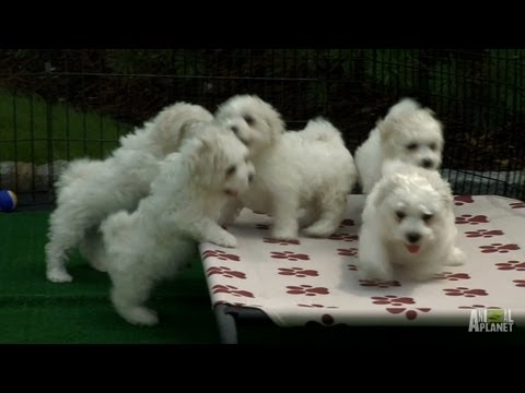 pups - These Bichon puppies get a change of scenery; a puppy playground in the backyard built just for them! | For more Too Cute!, visit http://animal.discovery.com...