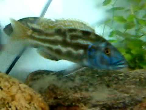 Nimbochromis fuscotaeniatus Wildcaught