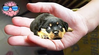 Video Top 10 SMALLEST DOG BREEDS MP3, 3GP, MP4, WEBM, AVI, FLV Maret 2019