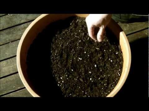 Growing Moringa Oleifera: [Part 1] Planting Seeds