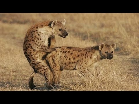 Hyena Mating Hard In The Wild