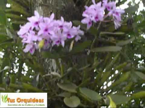 Orquideas Guarianthe. Bellas y Resistentes
