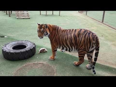 tiger-xxx-video