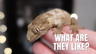 My Leachianus Gecko First Impressions! | What Has It Been Like? by Emma Lynne Sampson