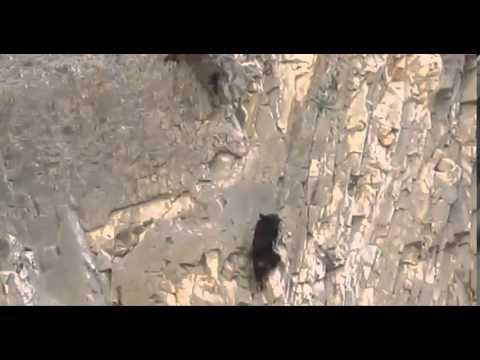 Images saisissantes d'une ourse et de son ourson escaladant une falaise au Texas