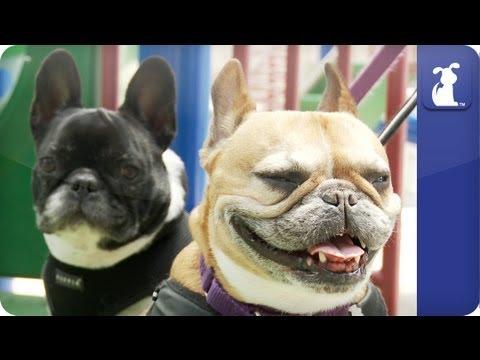 french bulldog really special dog!