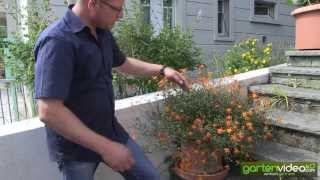 #1291 Orangefarbene Bidens - Weltneuheit 2013