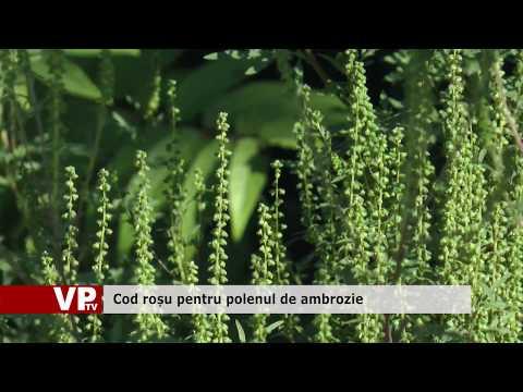 Cod roșu pentru polenul de ambrozie