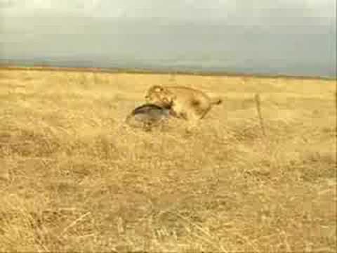 Por qué el león no ataca al cerdito?