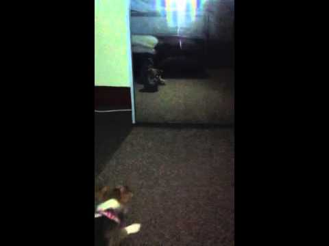 Chihuahua x Jack Russell Barking Mad