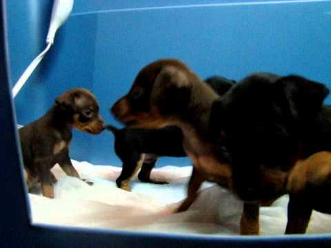 MIN PIN MINIATURE PINSCHERS PUPPIES PLAYING