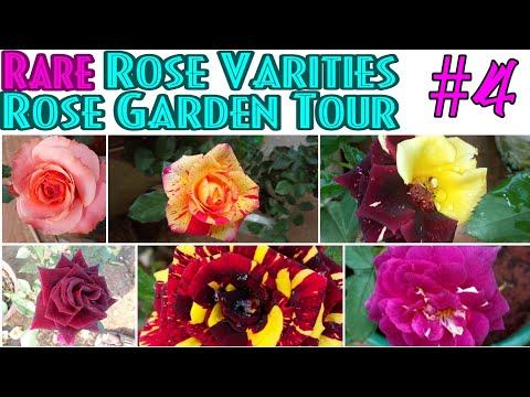 7 - Rare Rose Varities Garden tour || Episode- 4 || Blue for you || Velvet Rose|| Midnight Blue