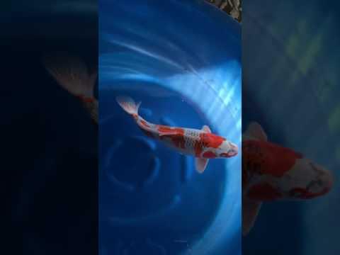 錦鯉   金子孔雀♀  42㎝