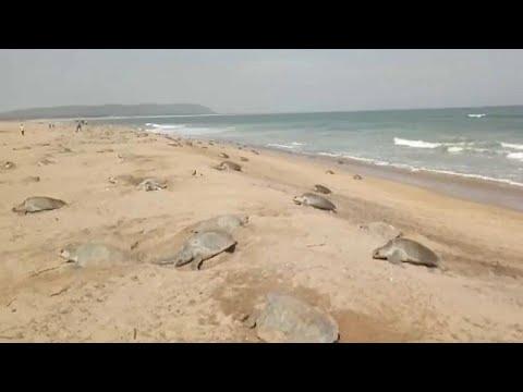 Ινδία: Εκατομμύρια θαλάσσια χελωνάκια