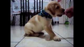 Labrador começando a ser adestrado - 70 dias