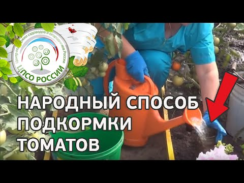 Подкормка растений томата народными средствами Подкормка томатов крапивой.