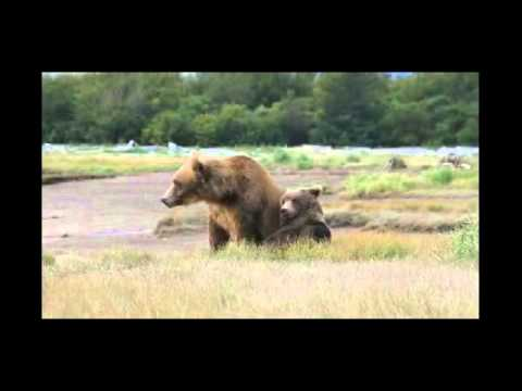 Brown Bears Playing in Katmai National Park