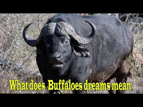 What Does  Buffaloes Dreams Mean ?(भैंस सपने)