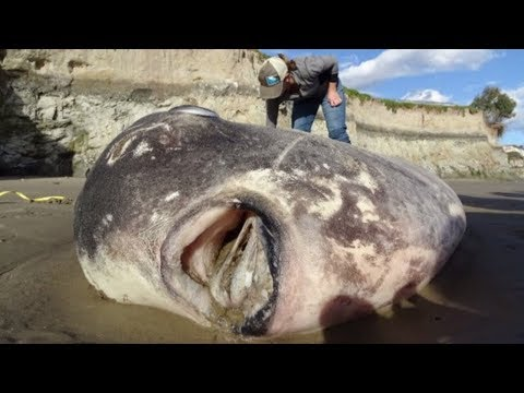 Kalifornien: Seltener Mondfisch an Küste angeschwem ...