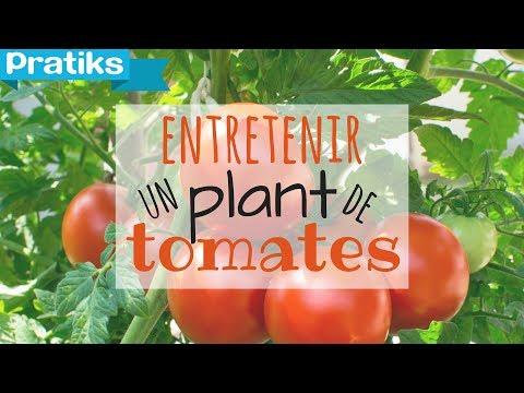 Comment entretenir son plant de tomates ?