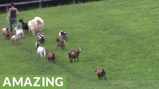 「さあみんな、帰るわよ!」の声に、一列になって歩き出す牧場の動物たち