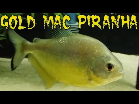 Gold Mac Piranha 8 Mouth Update