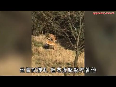 老虎咬人事件 遊客被老虎叼走後身亡