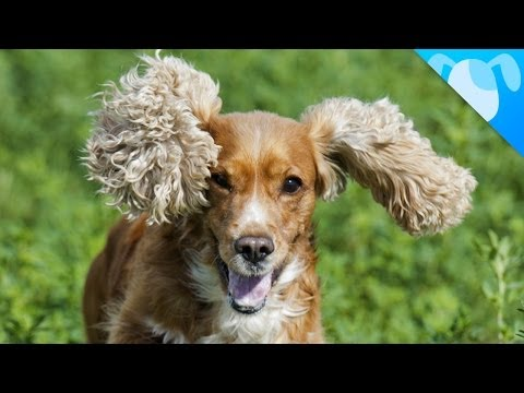 cocker spaniel: really special dog!