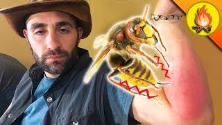 Giant Hornet KNOCKS OUT Coyote! by Brave Wilderness
