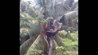 Video NGERI..!! Ular Piton Di Temukan Warga Ketika Saat Menebang Pohon Di Hutan MP3, 3GP, MP4, WEBM, AVI, FLV Mei 2017