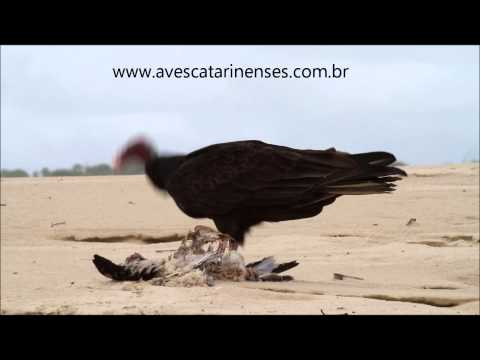 Urubu-da-cabeça-vermelha - Cristiano Voitina