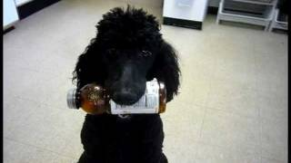 Poodle Service Dog In-training; Intermediate Level