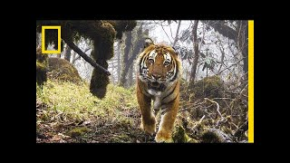Watch: Extremely Rare Footage of Wild Tigers in Bhutan | National Geographic