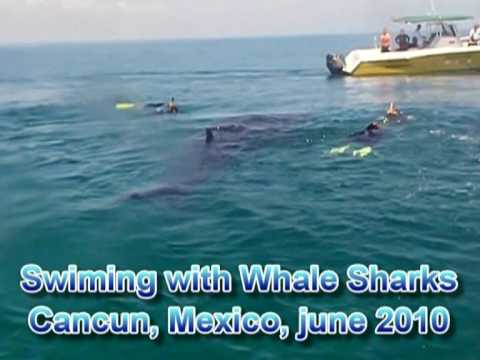WS80: Swimming with Whale Sharks in Cancun, june 2010.mpg
