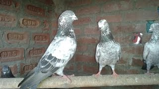 Moradabad India  city images : Indian Pigeon Haider Naqvi Moradabad India