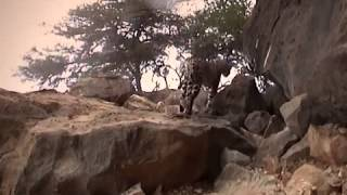 Arabian Leopard in Oman - Documentary