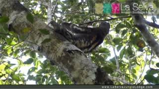 Three-Toed Sloth - La Selva Amazon Ecolodge & Spa - Ecuadorian Amazon