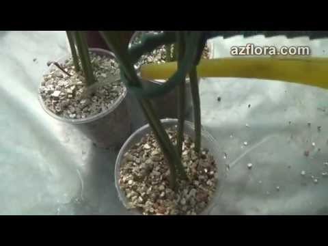 Размножение антуриума 1часть anthurium