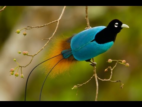 birds - Explore more: http://www.birdsofparadiseproject.org The Birds-of-Paradise Project reveals the astounding beauty of 39 of the most exquisitely specialized ani...