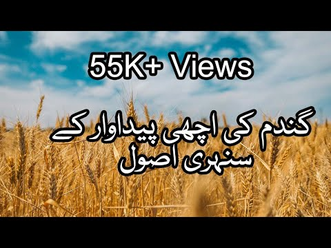 Agriculture Expert Guide to Increase Wheat Production.[ Wheat production in Pakistan]